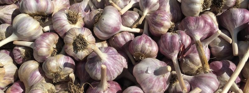 ICG Garlic